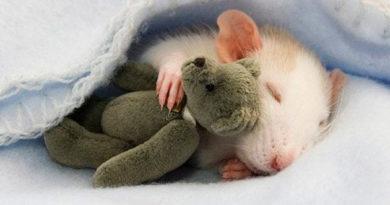 Приснилась крыса: чего стоит опасаться по мнению сонников